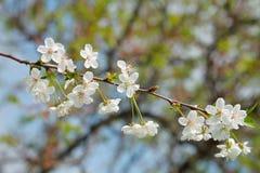 Close-up de florescência da cereja Imagens de Stock