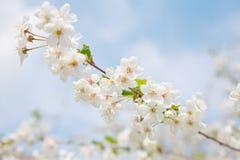 Close-up de florescência da cereja Imagem de Stock Royalty Free