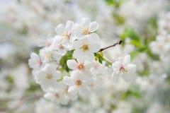Close-up de florescência da cereja Imagens de Stock Royalty Free