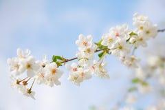 Close-up de florescência da cereja Fotografia de Stock