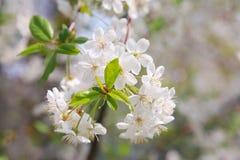 Close-up de florescência da cereja Fotografia de Stock Royalty Free