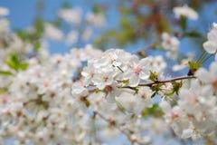Close-up de florescência da cereja Foto de Stock Royalty Free