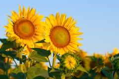 Close-up de florescência dos girassóis contra o céu azul foto de stock