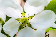 Close-up de floresc?ncia da ?rvore de Apple Flores macro da foto da árvore de maçã O domestica de florescência do Malus da árvore imagem de stock