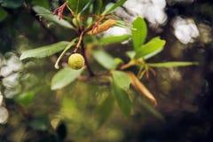 Close-up de frutos de árvore da morango Foto de Stock Royalty Free
