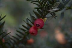 Close up de frutos ingleses do baccata do taxus do teixo Fotos de Stock