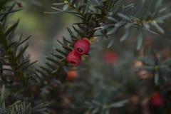 Close up de frutos ingleses do baccata do taxus do teixo Foto de Stock