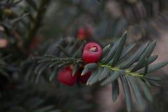 Close up de frutos ingleses do baccata do taxus do teixo Fotos de Stock Royalty Free