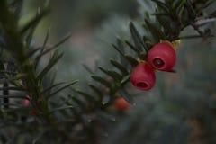 Close up de frutos ingleses do baccata do taxus do teixo Imagens de Stock Royalty Free