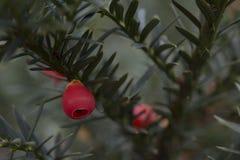 Close up de frutos ingleses do baccata do taxus do teixo Imagens de Stock