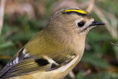 Close up de Goldcrest Imagens de Stock Royalty Free