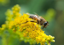 Close up de Hoverfly Imagem de Stock Royalty Free