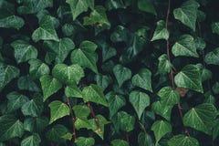 Close-up de Ivy Leaves escura imagens de stock royalty free