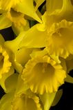 Close up de Jonquils imagens de stock royalty free