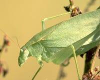 Close-up de Katydid Fotografia de Stock