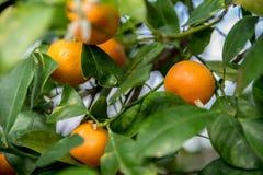 Close up de laranjas maduras ainda na árvore Fotos de Stock