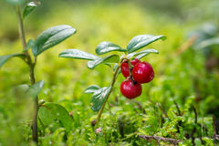 Close up de lingonberries selvagens e maduros Imagens de Stock Royalty Free