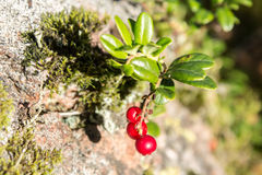 Close up de lingonberries vermelhos na floresta Imagens de Stock