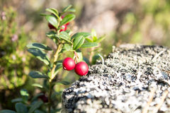 Close up de lingonberries vermelhos na floresta Foto de Stock Royalty Free