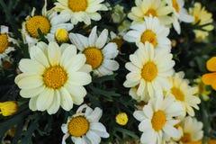 Close up de Marguerite Daisies em um jardim fotografia de stock