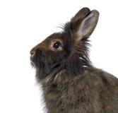 Close-up de Mini Lop Rabbit Fotos de Stock Royalty Free