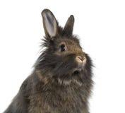 Close-up de Mini Lop Rabbit Imagem de Stock Royalty Free