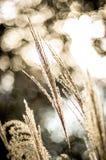 Close-up de Miscanthus contra o sol Foto de Stock