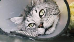 Close-up de NProfessional Maine Coon Cat Grooming foto de stock