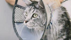 Close-up de NProfessional Maine Coon Cat Grooming imagem de stock
