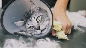 Close-up de NProfessional Maine Coon Cat Grooming fotos de stock royalty free