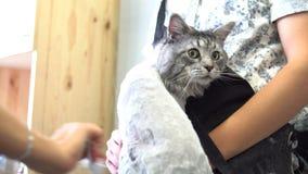 Close-up de NProfessional Maine Coon Cat Grooming fotografia de stock