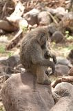 Close up de Olive Baboon adormecido foto de stock