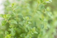 Close up de oréganos verdes frescos fotos de stock royalty free