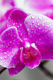 Close up de Orchidea Imagens de Stock