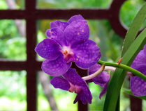 Close up de orquídeas roxas Fotos de Stock