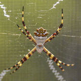 Close up de prata da aranha do Argiope Imagem de Stock Royalty Free