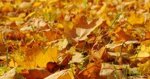 Close up de queda das folhas do outono vídeos de arquivo