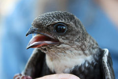 Close up de rápido Branco-throated Fotografia de Stock Royalty Free