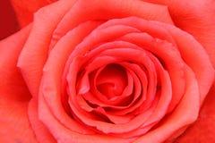 Close up de Rosa Fotos de Stock Royalty Free
