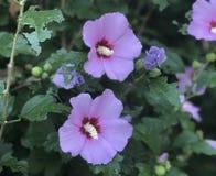 Close up de Rosa lindo de flores de Sharon imagem de stock royalty free