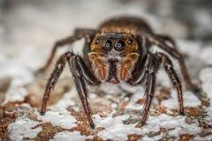 Close up de salto do macro da aranha de Brown Fotos de Stock