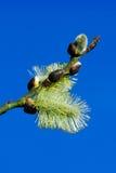 Close-up de seda macio dos catkins Fotos de Stock Royalty Free