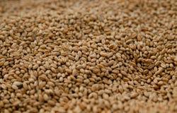 Close-up de sementes do trigo foto de stock royalty free