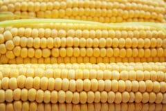Close up de sementes maduras doces frescas do milho Colhendo o fundo Imagens de Stock Royalty Free