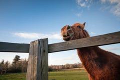 Close up de sorriso engraçado do cavalo Fotos de Stock