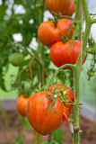 Close up de tomates grandes Foto de Stock Royalty Free