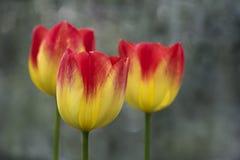 Close up de três amarelos e de tulipas vermelhas imagem de stock royalty free