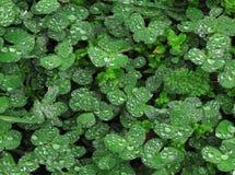 Close up de trevos da folha com gotas da água Foto de Stock