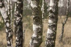 Close-up de troncos do vidoeiro Fotos de Stock Royalty Free