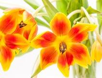 Close up de tulipas abertas do amarelo vermelho aberto imagem de stock